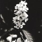 Kwitnie czeremcha