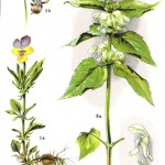 fiołek trójbarwny – Viola tricolor