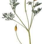Eschscholtzia californica Chamisso – maczek kalifornijski
