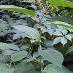 rdest japoński, a właściwie rdestowiec – Polygonum cuspidatum = Fallopia japonica = Polygonum japonicum