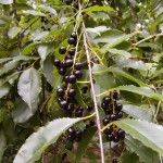 owoce czeremchy – Prunus padus seu Prunus serotina