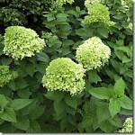 Hortensje – Hydrangea w fitoterapii
