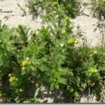 Rumianek bezpromieniowy – Matricaria matricarioides (less.) Porter (M. discoidea DC.)