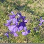 Ostróżeczka polna – Delphinium consolida Linne jako lek i trucizna
