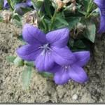 Platycodon grandiflorus Jacq. A. DC. – rozwar wielkokwiatowy w medycynie i kosmetyce