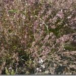 Satureja hortensis L. – cząber