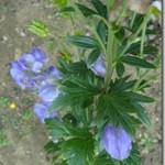 Tojad mocny – Aconitum napellus L. (Ranunculaceae) – jak to dawniej z nim było w medycynie