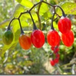 Psianka – Solanum, oczar – Hamamelis, naparstnica – Digitalis, czarnuszka – Nigella i miłorząb – Ginkgo – zwiastuny jesieni w ogródku luskiewnika