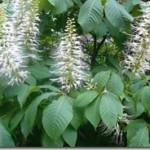 Aesculus parviflora – kasztanowiec drobnokwiatowy w ziołolecznictwie