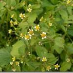 Żółtlica – Galinsoga w ziołolecznictwie