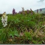 Kokorycz – Corydalis w fitoterapii