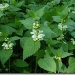 Kwiat jasnoty białej – Flos Lamii albi w fitoterapii