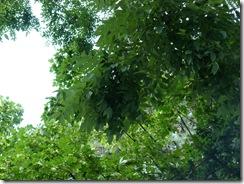 sophora_japonicaLinneus [1600x1200]