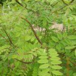 Amorpha fruticosa Linne  – indygowiec zwyczajny jako środek wzmacniający, estrogenny i przeciwnowotworowy.