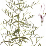 Andrographis (green chirettta, Indian chiretta) w praktycznej fitoterapii.