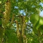 Grab zwyczajny – Carpinus betulus Linne w praktycznej fitoterapii.