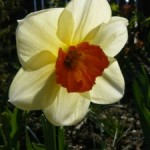 Wykłady i warsztaty terenowe – Floroterapia – kwiaty w kosmetyce i terapii oraz profilaktyce chorób; kwiaty jadalne i trujące – 23 maja 2015 roku; Krosno; zapraszamy!