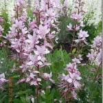 Korzeń, kwiat i liść dyptamu jesionolistnego – Radix, Flos et Folium Dictamni albi w praktycznej fitoterapii. Dyptam w dawnej medycynie.