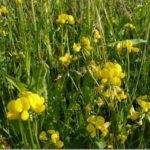 Komonica – Lotus w ziołolecznictwie.