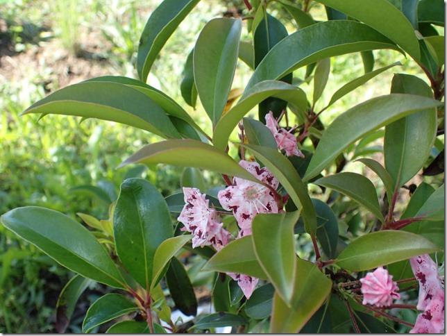 calmia_latifolia