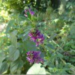 Ziele i kwiatostan lucerny siewnej – Herba et Flos (Inflorescentia) Medicago sativae w praktycznej fitoterapii.