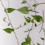 Rdesty – Polygonum mniej znane w fitoterapii