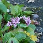 Bergenia, czyli badan w ziołolecznictwie