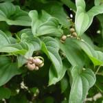 Pochrzyn – Dioscorea w medycynie i chrapaniu