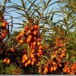 Olej rokitnikowy – Oleum Hippophae