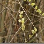 Wierzba – Salix w praktycznej fitoterapii