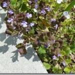 Bluszczyk kurdybanek – kurdybanek pospolity – Glechoma hederacea Linne w fitoterapii dawnej i współczesnej
