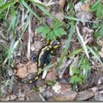 Ropucha i salamandra w medycynie i znachorstwie