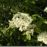 Bez czarny – Sambucus nigra Linne w fitoterapii praktycznej; czas zbioru kwiatów