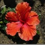 Hibiscus – Ketmia a płodność