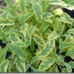 Szałwia – Salvia w praktycznej terapii