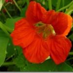Tropaeolum majus – nasturcja jako przyprawa i lek