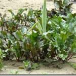 Burak czerwony – Beta vulgaris var. esculenta