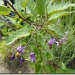 Solanum dulcamara Linne = Solanum laxum Royle – psianka słodkogórz w ziołolecznictwie