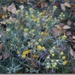 Kocanki jeszcze kwitną. Helichrysum (Flos Helichrysi = Flores Stoechados) w fitoterapii
