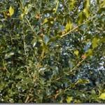Ostrokrzew kolczasty – Ilex aquifolium Linne – czyżby trujący?