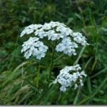 Herba Millefolii – ziele krwawnika jako amaro-aromatica