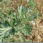 Piołun – Artemisia absinthium L. w fitoterapii
