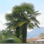 Chamaerops humilis L. i Trachycarpus fortunei (Hook.) H. Wendl. i Lugano
