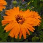 Kwiat nagietka – Flos Calendulae jako surowiec farmakopealny