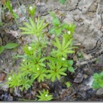 Kokoryczka Polygonatum multiflorum i marzanka wonna – Galium odoratum