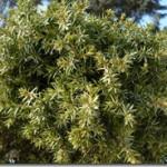 Juniperus communis L. – jałowiec pospolity