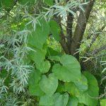 Kokornak – Aristolochia i Thomas Sydenham