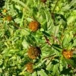 Uczep trójlistkowy – Bidens tripartitus L. w ziołolecznictwie