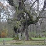 Quercus – dąb w fitoterapii