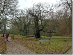 Quercus_rogalin